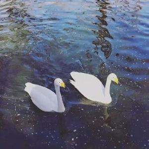 鸭子在水中游风景头像