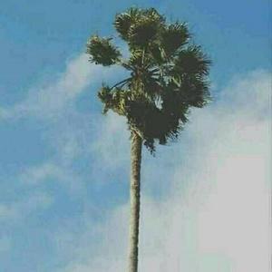 天空大树风景头像