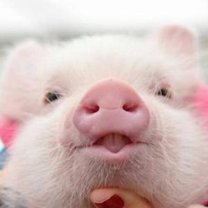 个性可爱小猪猪微信头像