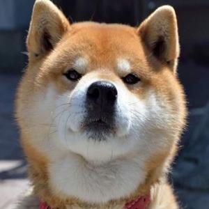 超萌超可爱的柴犬微信头像7