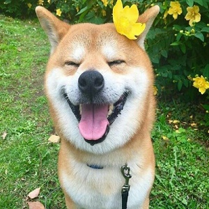 唯美超可爱柴犬微信头像3